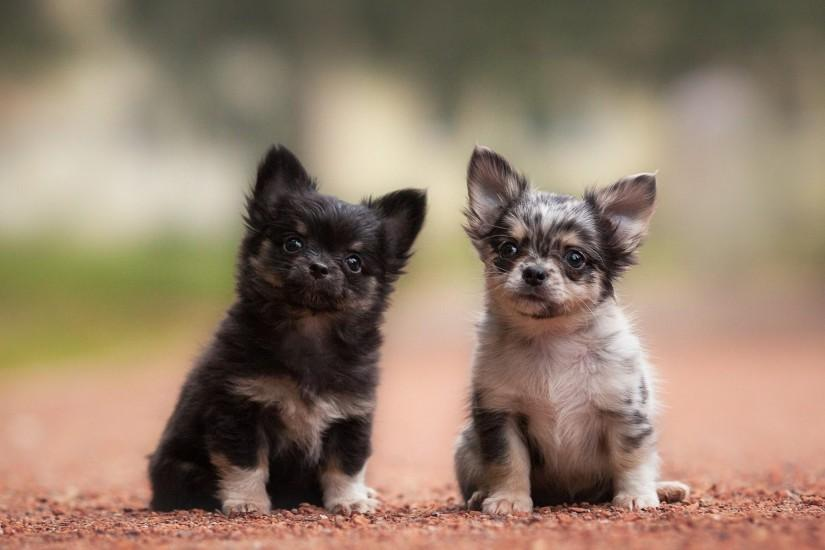 Cute Chihuahua Puppies | Qemistry.us