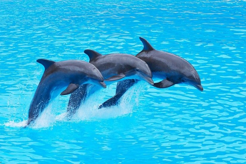 dolphin image dekstop full hd wallpaper
