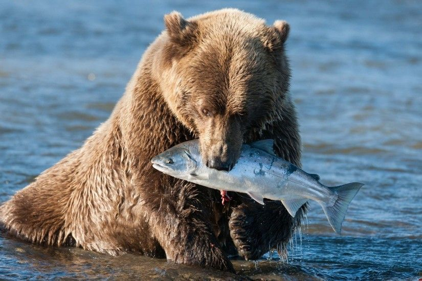 Bears - Bear Grizzly Fish Baby Polar Desktop Background for HD 16:9 High  Definition