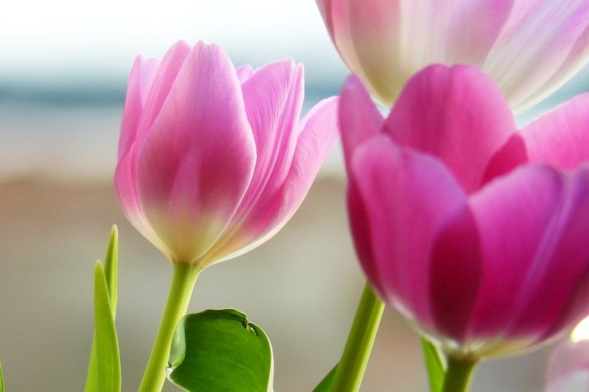 Tulips In Spring Flower Wallpapers