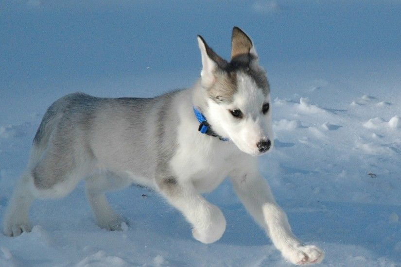 Husky Wallpaper Dogs Animals Wallpapers