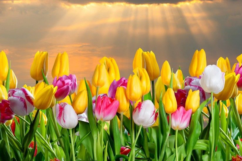 Tulip Flower Wallpaper - Wallpapers Browse ...