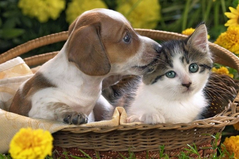 Kittens Puppy Kitten Basket Flowers Wallpapers Resolution : Filesize : kB,  Added on June Tagged : kittens puppy