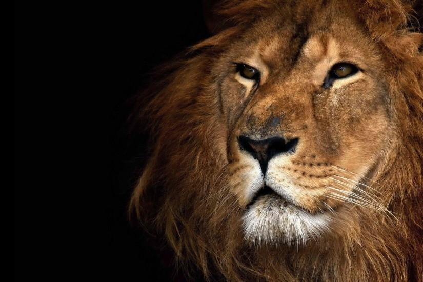 gorgerous lion background 2048x1152 download free