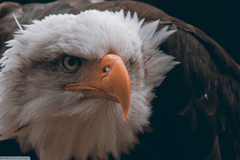 eagle, Birds, Animals, Closeup, Bald Eagle, Feathers, Freedom Wallpapers HD  / Desktop and Mobile Backgrounds