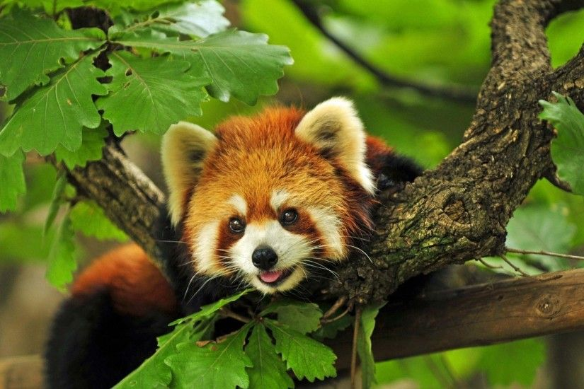 Red Panda Wallpapers - Full HD wallpaper search