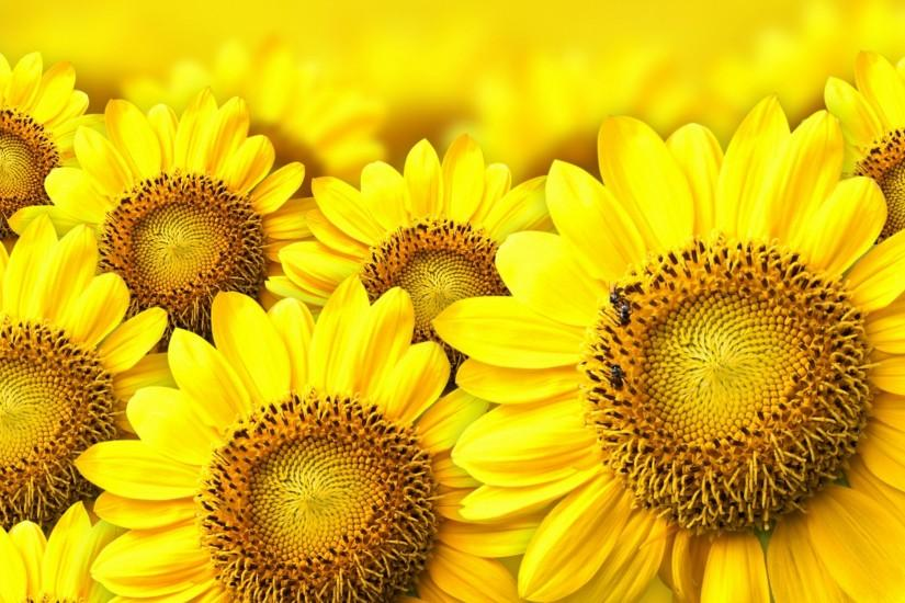 free download sunflower background 2560x1600 images