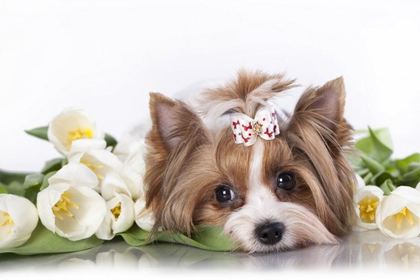 yorkshire terrier dog tulips flower snout bow