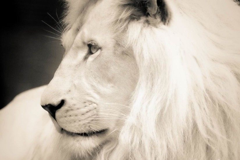 White Lion HD Wallpapers Backgrounds Wallpaper 1920×1080 White Lion Images  | Adorable Wallpapers