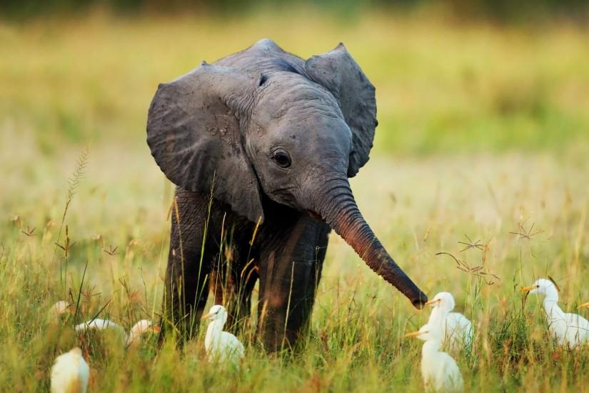 Nature Animals Cute Little Baby Elephant #69582 HD Wallpaper Res .