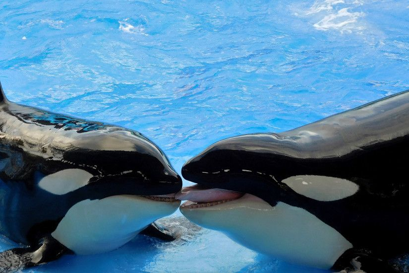 HD wallpaper two orcas at pool