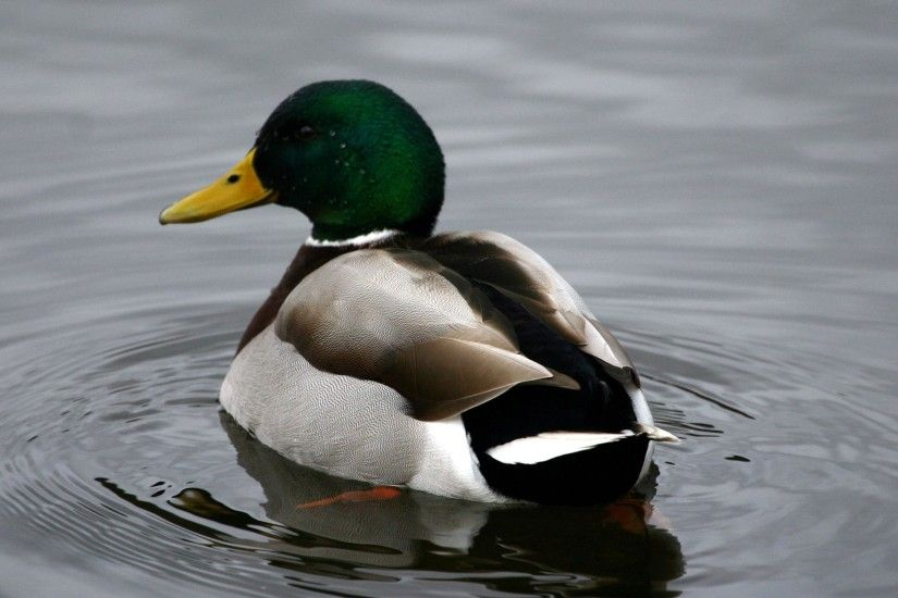 ... Mallard Duck Flying Wallpapers, Mallard Duck Flying Images for . ...
