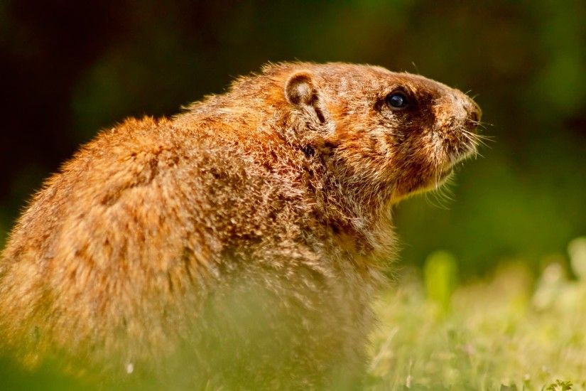 high definiton,download wallpaper, groundhog,wildlife 4k, animal photos,  rodent,