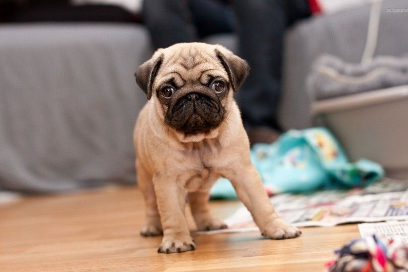 Cute Pug Puppy Wallpaper Hd 2554 Full HD Wallpaper Desktop - Res .