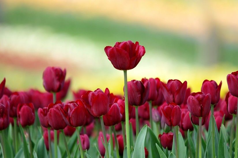 Red Tulip Flowers Hd Wallpapers Backgrounds