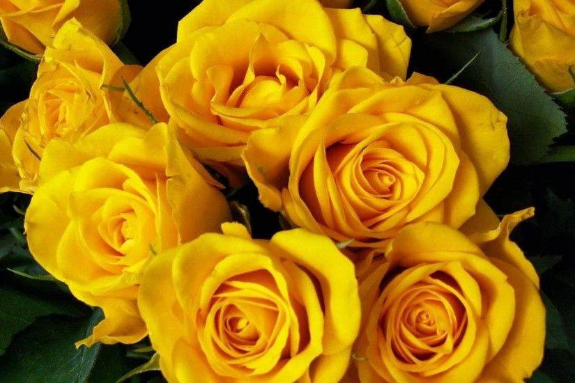 roses, flower, yellow