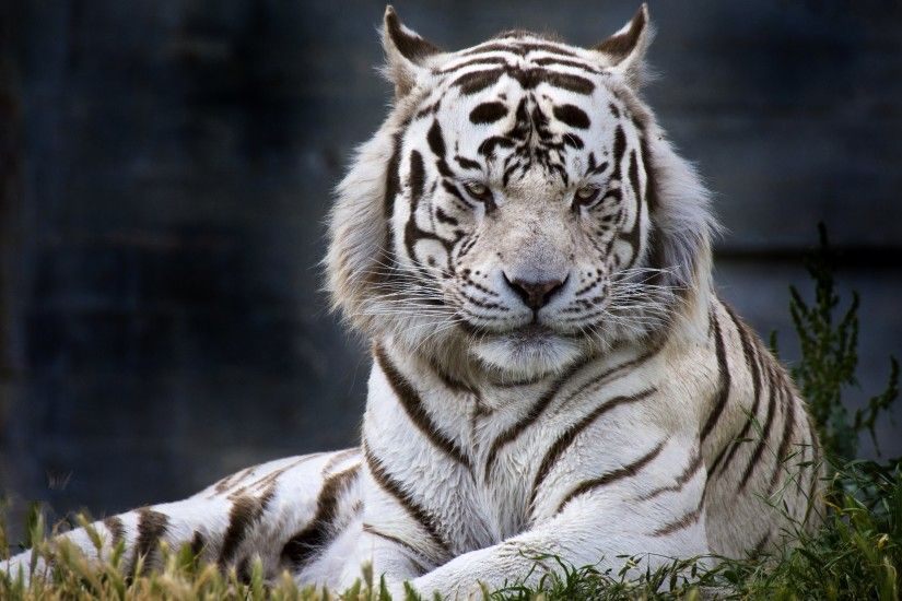 HD Couple White Tiger Wallpaper for Computer Full Size .