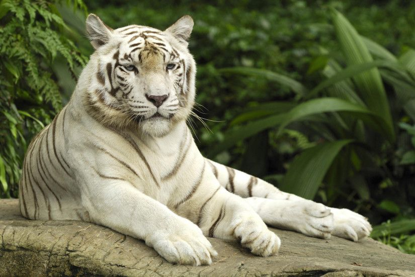 White Tiger Wallpaper Tigers Animals Wallpapers in jpg format for