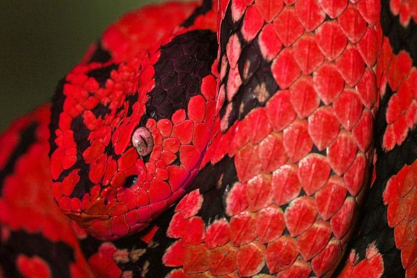 red snake Wallpaper Background | 2675