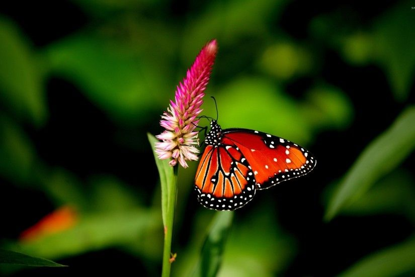 ... Free Butterfly Backgrounds Â« Long Wallpapers ...