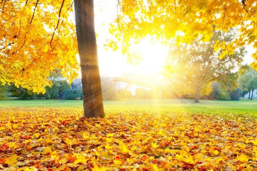Fallen Tag - Fallen Gold Autumn Sunlight Trees Fall Sun Beams Bright Yellow  Morning Leaves GoldNFP