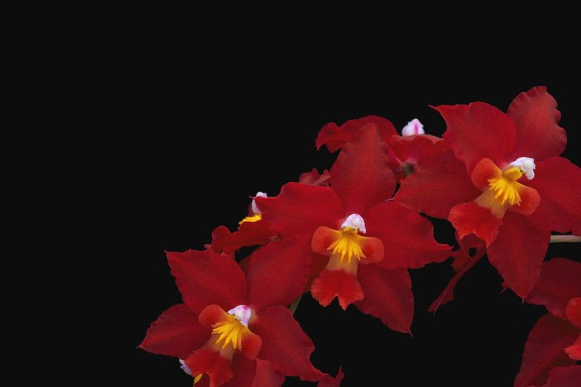 red flowers, orchid, thread, nature, yellow, petal, plant, black