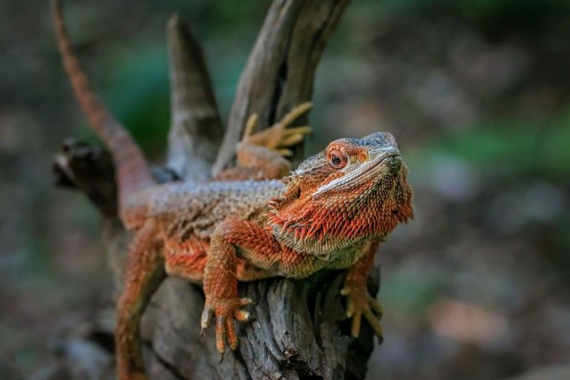 Bearded Dragon 4K Bearded Dragon Background Bearded Dragon Computer Wallpaper  Bearded ...