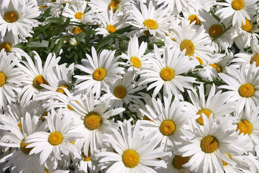 8. daisy-flowers-wallpaper8-600x338