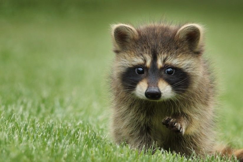 Preview wallpaper raccoon, grass, muzzle, animal, walk 1920x1080