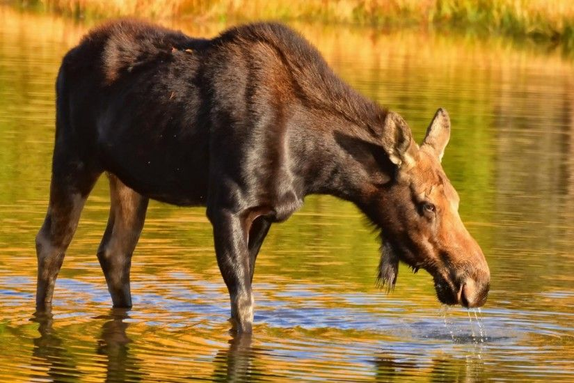 3840x2160 Wallpaper moose, nature, background