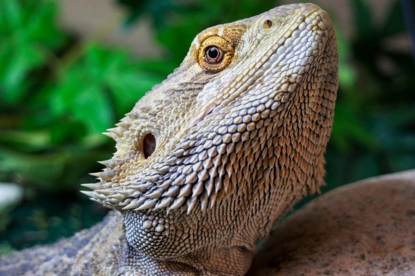 HD Wallpaper | Background ID:504666. 2560x1600 Animal Bearded Dragon. 4  Like. Favorite