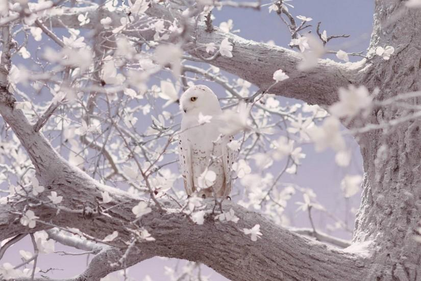 Birds white snowy owl beauty nature birds owls image gallery.
