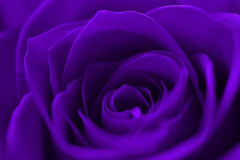 Gorgeous Purple Rose Flowers Nature Roses Japanese Flower Wallpaper -  1920x1271