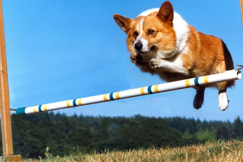 1920x1080 animals grass dogs jumping corgi clear blue sky HD Wallpaper -  Nature .