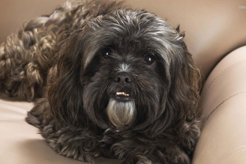 Black Shih Tzu Wallpaper