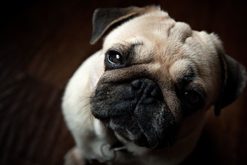 "1920x1080 Wallpaper: Handsome Pug Puppy Wallpaper. Pug Puppy Wallpaper"">"