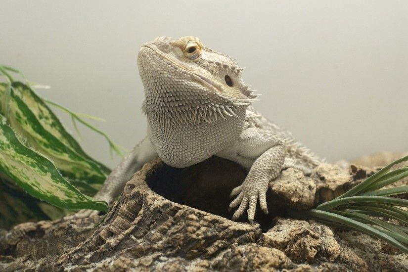 Bearded Dragon Wallpapers Backgrounds