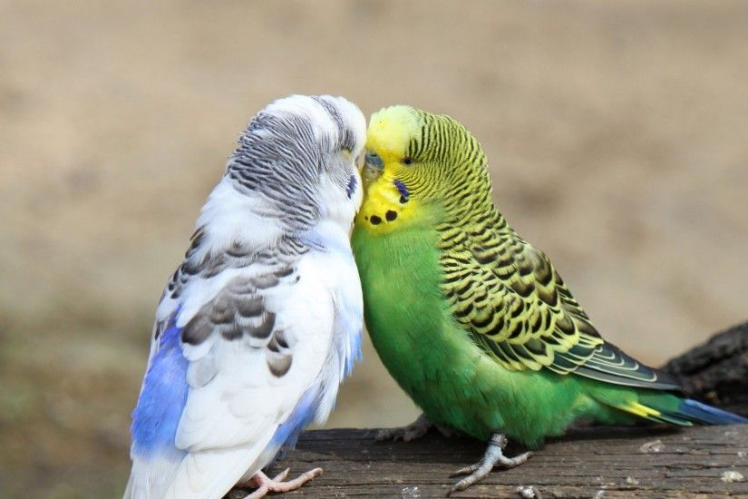 Budgies images 2 Budgies HD wallpaper and background photos