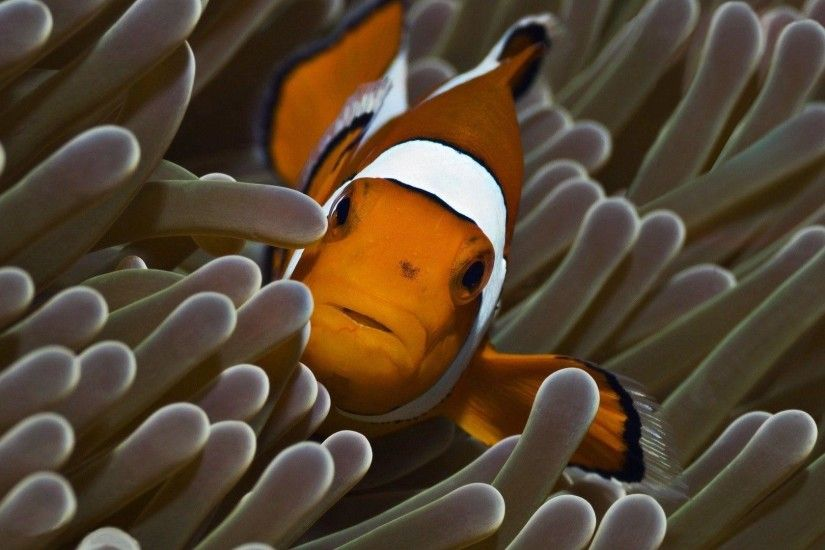 Clown Fish Wallpaper Animal Wallpapers taken from Clown Fish .