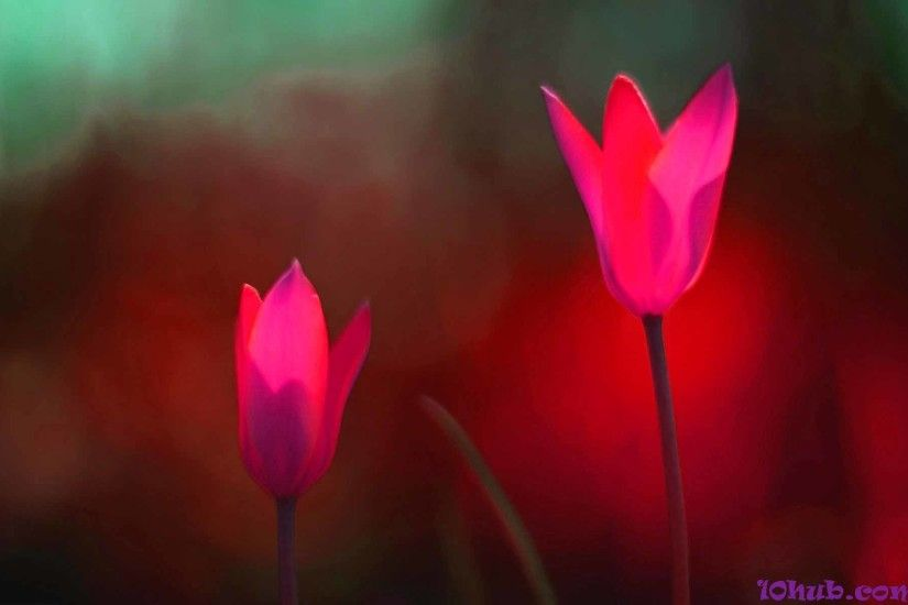 Download Tulip Wallpapers