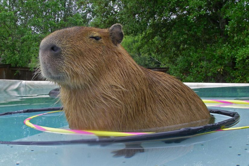 Giant smug Capybara standing in a hoolahoop in a pool.
