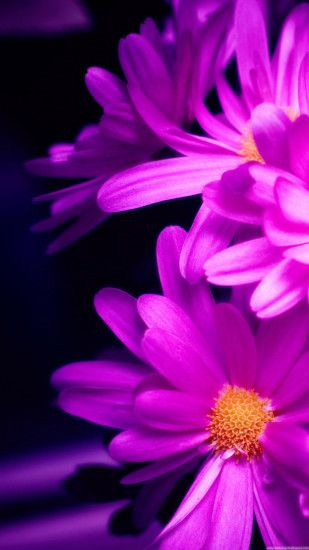 Purple Pink Daisy Flower Bouquet Macro iPhone 6 wallpaper