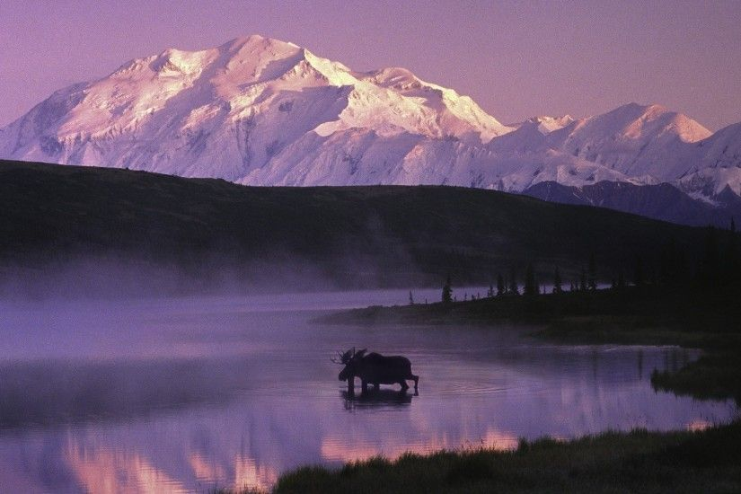 Moose Walking In The Denali Lake Alaska
