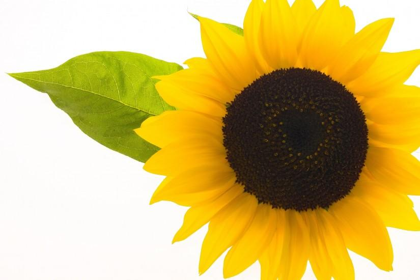 beautiful sunflower background 3026x2136 for full hd