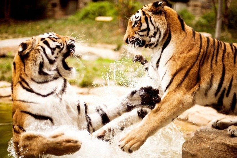 Animal Tigers Fighting