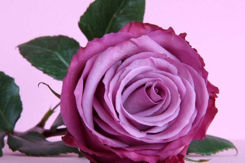 1920x1200 Purple Rose Background Wallpaper
