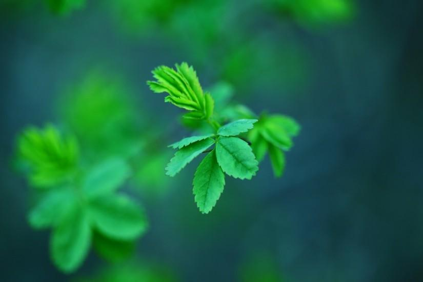 Mint Leaves wallpaper
