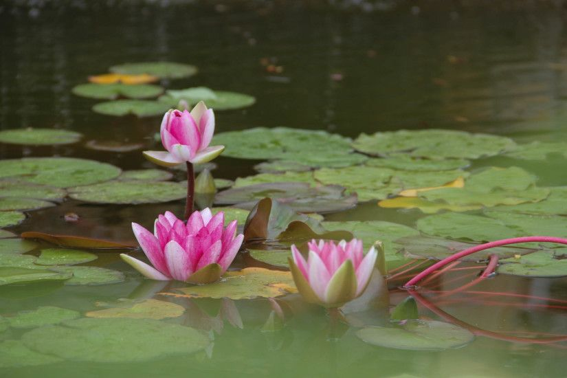 Lotus Flower Beautiful High Quality HD Wallpapers ...