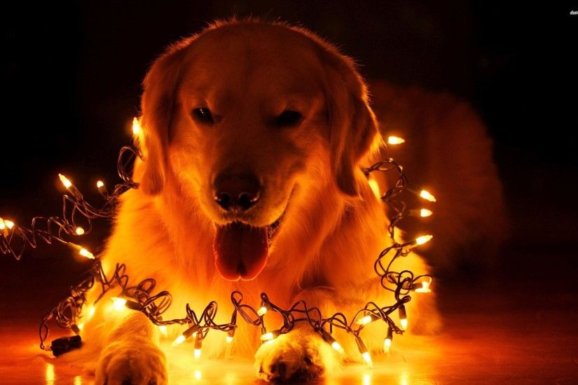 dog wallpaper christmas lights - photo #7. Whats Happening VisitNorwich