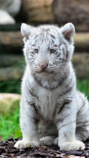 The White Siberian Tiger ~ is found around the cold regions of Russia. They  are